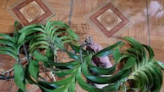 tối 6/6 quế đẹp, trầm tím và nhiều mặt hàng hoa lan giảm giá .. 0348886368