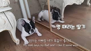 #FrenchBulldog #프렌치불독 #거울좋아하는강…