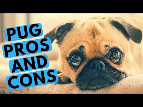 Pug Dog Breed - Pros and Cons