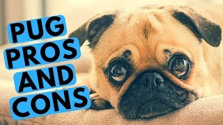 Pug Dog Breed  Pros and Cons