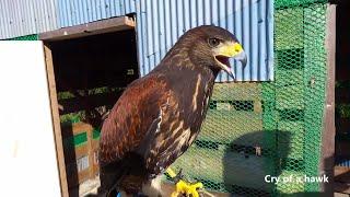 鷹の鳴き声  Cry of a hawk
