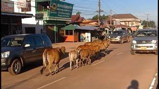 Wrong way driving! Stupid cows!