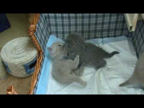 Британские котята в возрасте 1 мес. П-к Silvery Snow