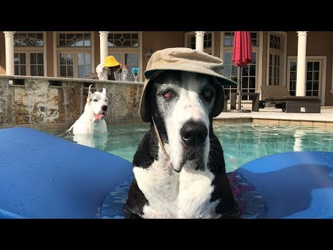 Thumbnail: Cool Great Dane Chill Out in the Pool
