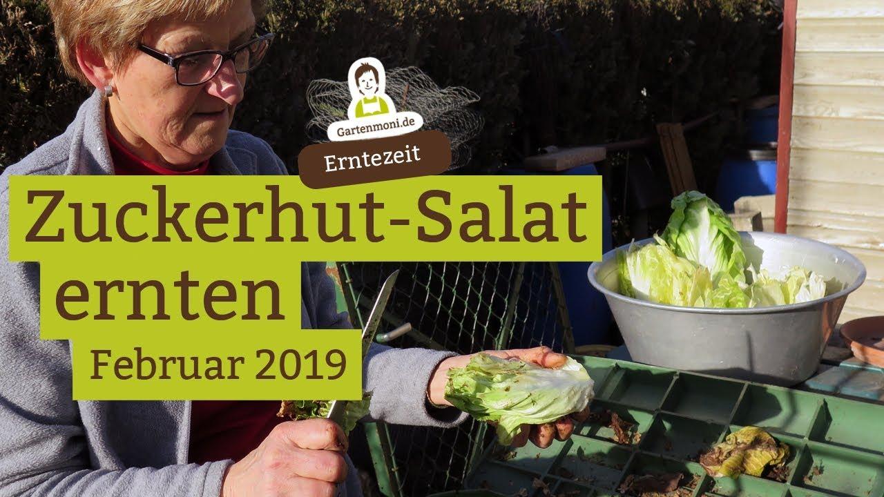 Prächtig Der vitaminreiche Zuckerhut - Salat für den Wintervorrat &XA_32