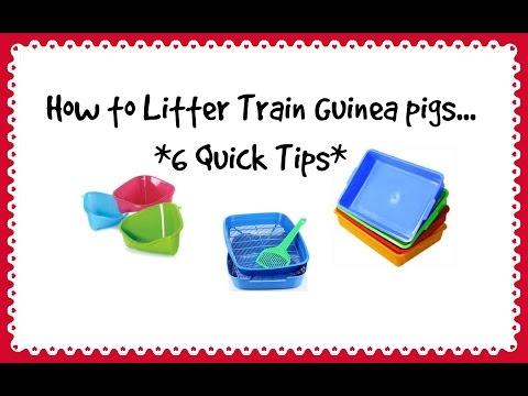 Litter Training Guinea Pigs *6 Quick Tips*