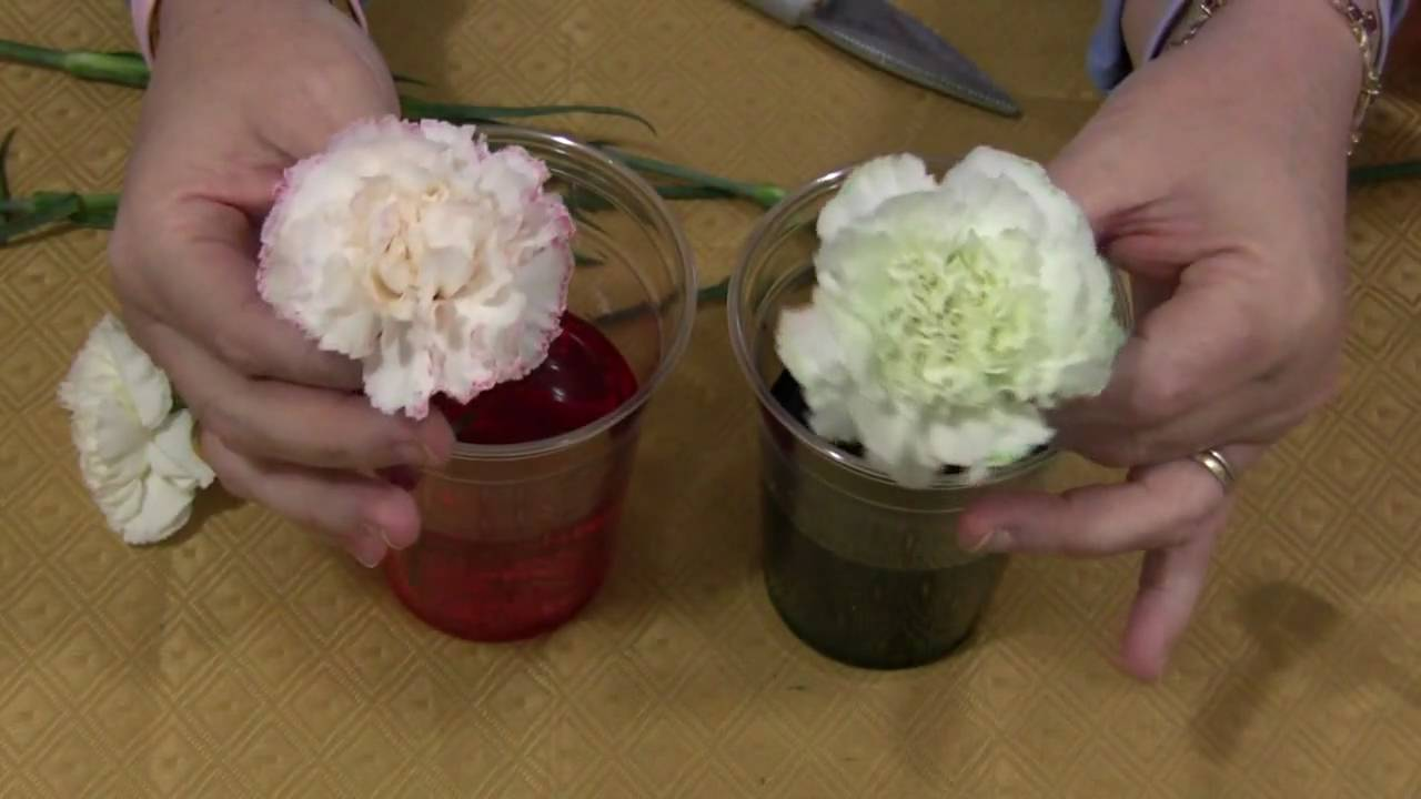Colour Changing Flowers Experiment Go Science Girls - a-k-b.info