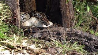 Tegu Stalks Python Nest 01 Footage