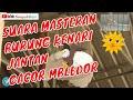 Suara Burung Kenari Jantan Gacor Mbledor  Mp3 - Mp4 Download