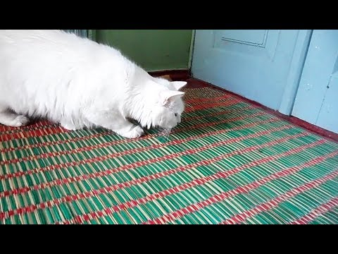Turkish angora hunting a fly - funny cat videos