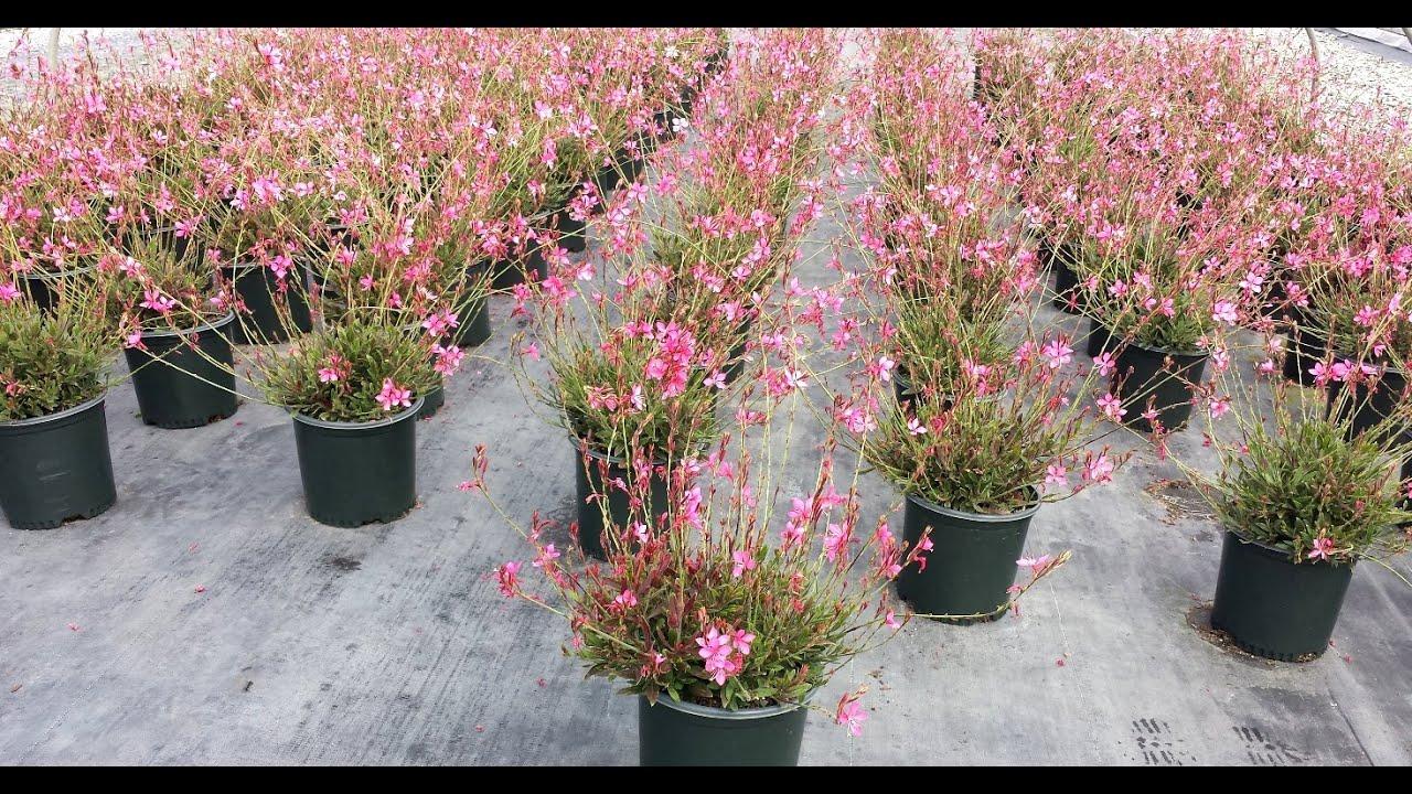 Best perennials gaura crimson butterflies wand flower youtube best perennials gaura crimson butterflies wand flower mightylinksfo