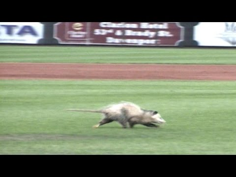 Possum chase at Modern Woodmen Park