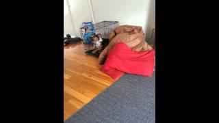 Cloo howling