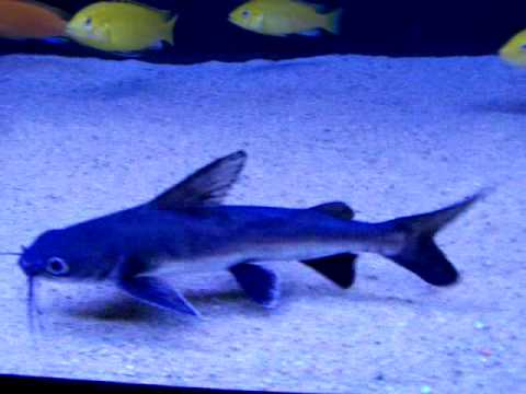 Cat Sharks As Pets