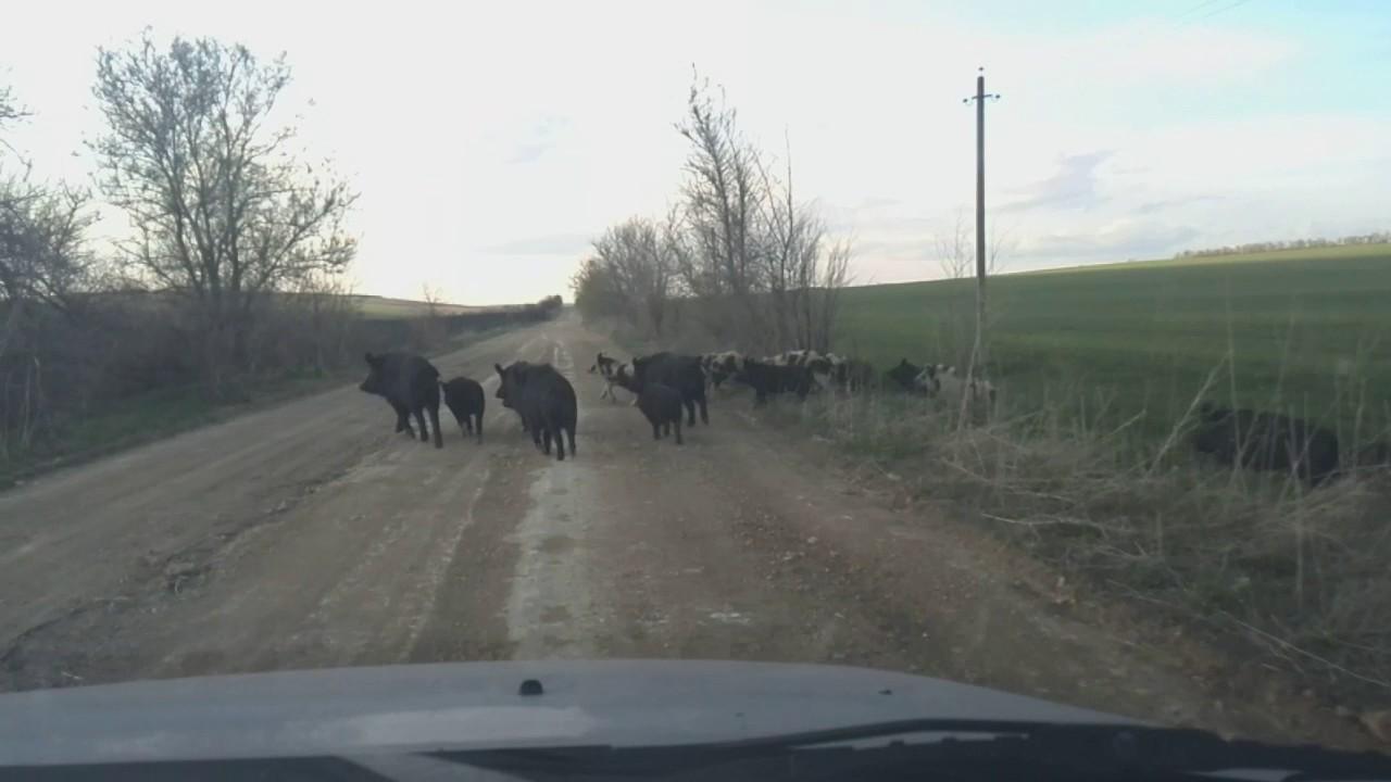 Наглые дикие кабаны на дорогах Раздельнянского района Одесской области.
