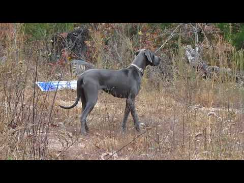 Neytiri, Blue Great Dane Female ~ Great Pyredane Breeder's Association