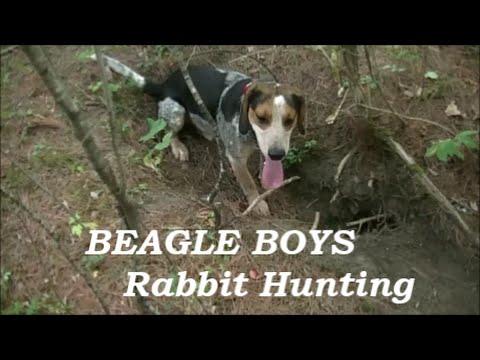 Beagle Boys Rabbit Hunting - Training The Beagles - September 2014