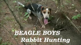 Beagle Boys Rabbit Hunting - Training The Beagles - September 2014
