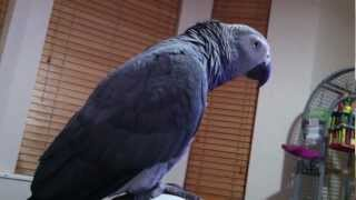 Funny Parrot singing Twinkle little star and Old Mcdonald