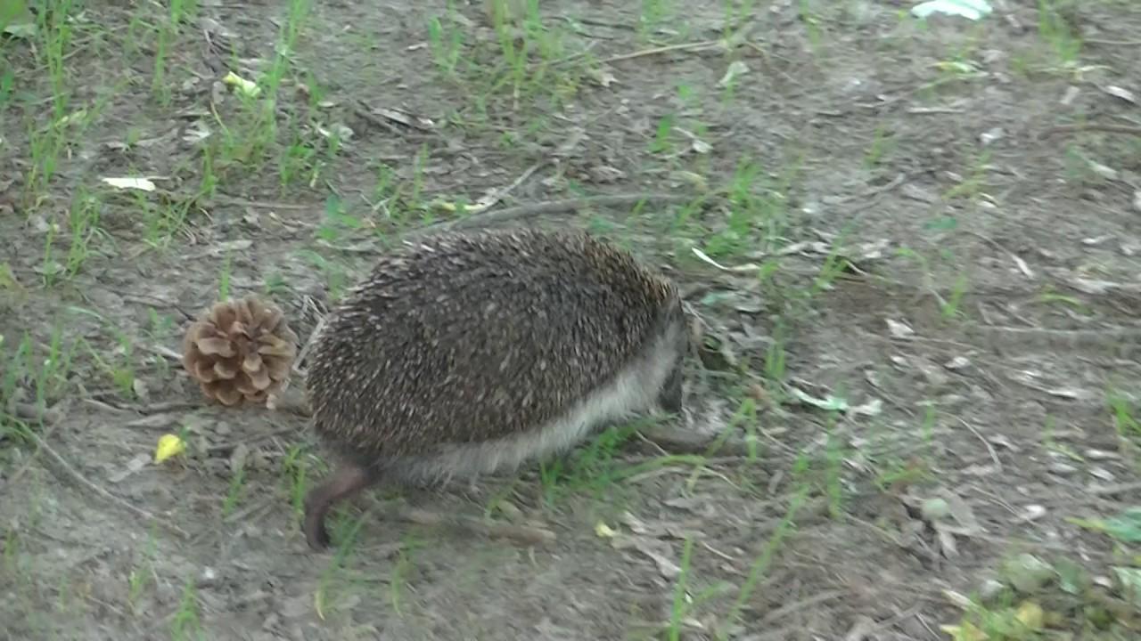 Najčastejšie stretnú pred panelákom ježka psíčkari, Bratislavský kuriér