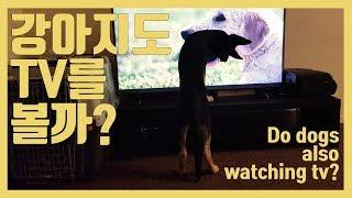 강아지도 티비를 볼까?/저먼 셰퍼드 하울링 반응/Do …