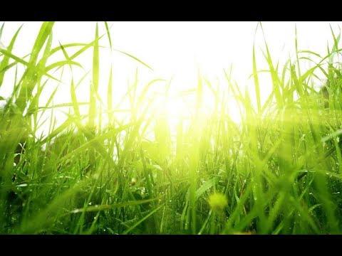 "стихотворение ""Травка зеленеет...."""