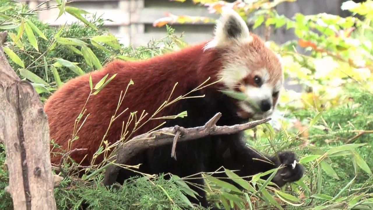 Kleine Panda in Blijdorp HD