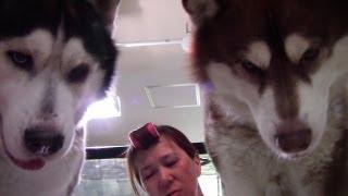 Breakfast of huskys dog 散歩帰宅後 軽く朝飯の日常動画 今日はチーズ...