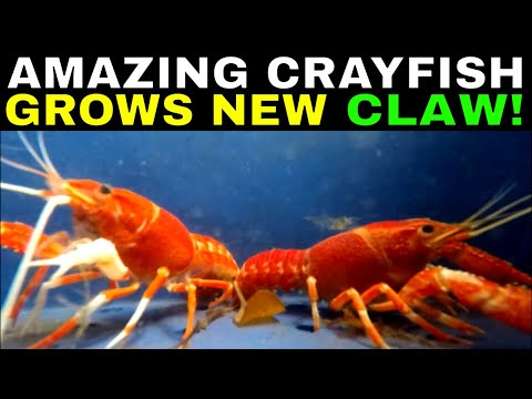 Can Crayfish Grow New Claws? | Grow Crayfish For Food #4