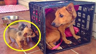 This Poor Pooch Was Distraught After Her Pups Went Missing  When She Sees Them Again Amazing!