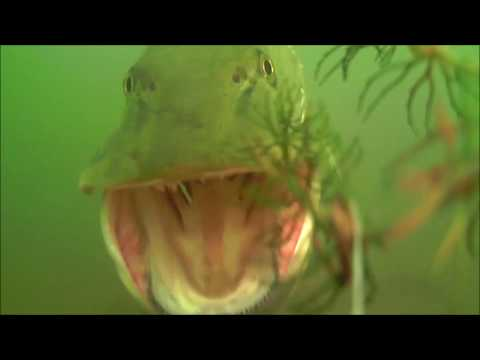Muskies of northern Illinois, Underwater video