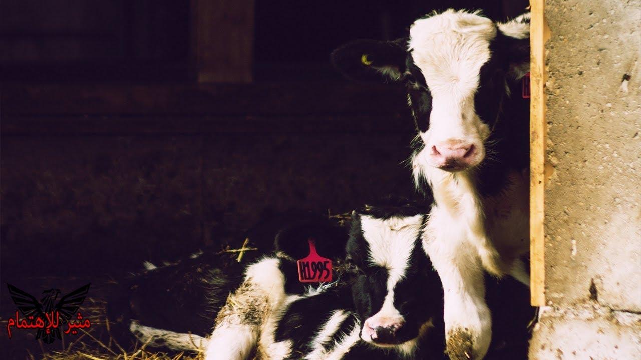 ظنوا ان هذه البقرة ستلد عجل واحد - لكن كانت المفاجأة فأذهلت الجميع - سبحان الله
