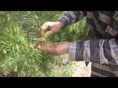 Хвойный лекарь: сосновая пыльца, применение пыльцы