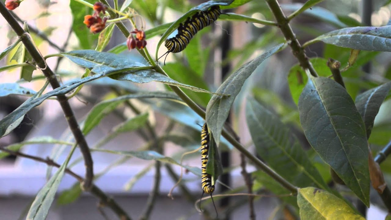 Monarch Caterpillars React to Sound & Monarch Caterpillars React to Sound - YouTube