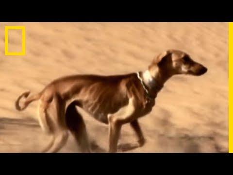 Le Saluki est l'un des animaux les plus rapides du monde