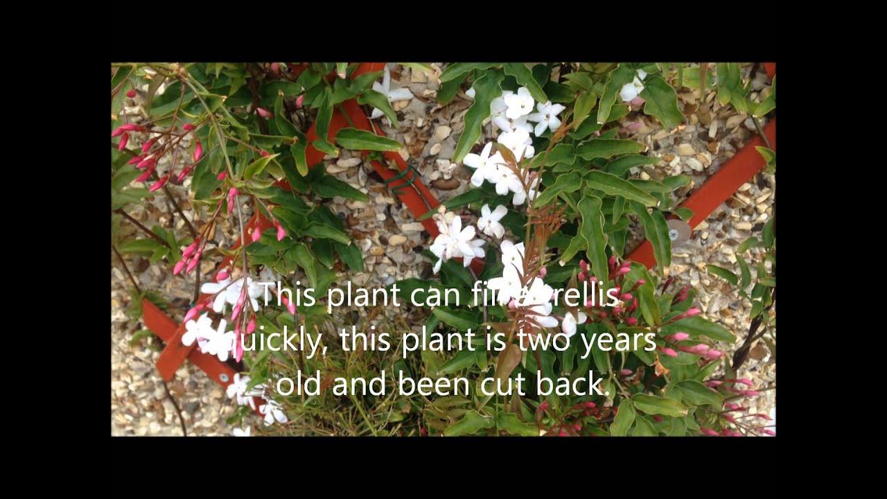 Jasmine polyanthum in flower stunning plant help and care youtube jasmine polyanthum in flower stunning plant help and care izmirmasajfo