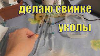 Как делать укол морской свинке/ Лечение морской свинки