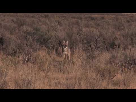 Coyote Hunting - 90 DIRT Naps In ONE Video!!!! - Coyote Assassins Final Episode Season 1