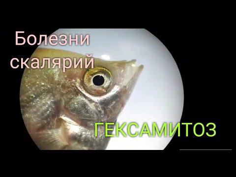 Самые #опасные #болезни. #Гексамитоз. #рыбка заболела