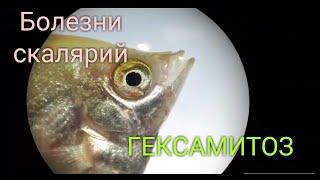 Самые опасные болезни. Как и чем лечить гексамитоз. Метронидазол в аквариум. рыбка заболела