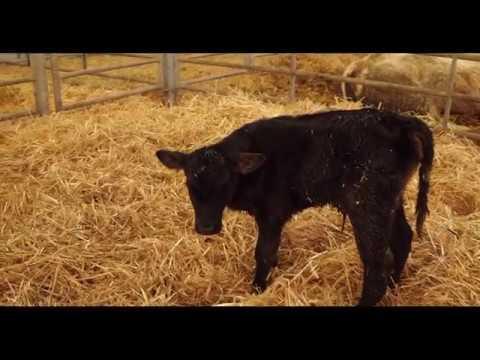Calf Rearing: Care of the newborn calf