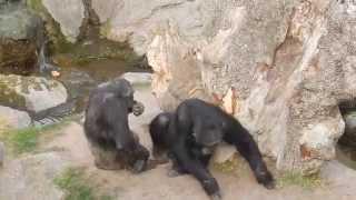 Забавные обезьяны в зоопарке в Испании. Валенсия 2014.