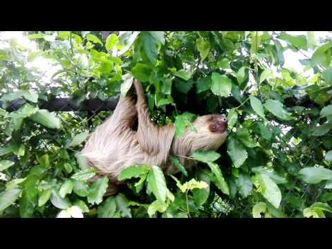 Sloth in jungle environment Panama
