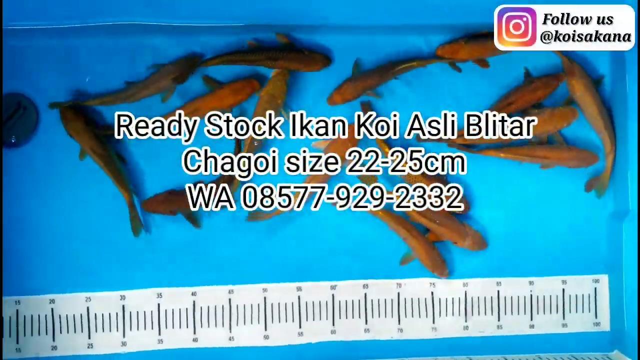 Ready Stock Ikan Koi Asli Blitar Chagoi size 22-25cm - YouTube
