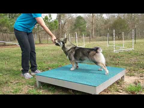 How to start agility training with a Swedish Vallhund.
