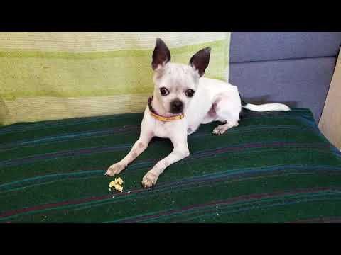 How to teach a Chihuahua dog to do tricks for treats