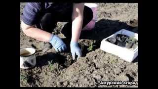 РОЗМАРИН - выращивание и посадка розмарина и его свойства ( Сибирь Урал и ДВ )