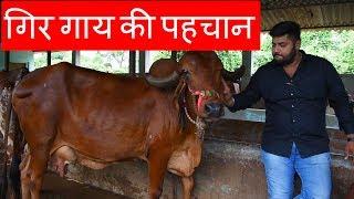 गिर गाय की पहचान | Features of Gir cow