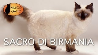 SACRO DI BIRMANIA trailer documentario (razza felina)