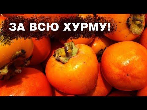 Сезон урожая хурмы начался в Таджикистане